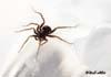 Araneae (Paianjeni)