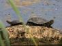 Broasca testoasa de apa (Emys orbicularis)