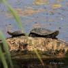 Broasca testoasa de apa ( Emys orbicularis )