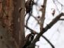 Ciocanitoarea pestrita mare (Dendrocopos major)