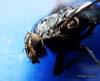 Diptera (Musca)