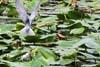Chirighita cu obraz alb (Chlidonias hybridus)