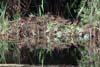 Colonie de Rata mare (Anas platyrhynchos)