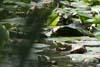 Lisita (Fulica atra)