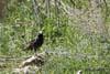 Graurul (Sturnus Vulgaris)