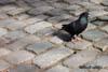 Porumbelul de casa