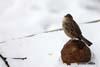 Vrabia de casa (Passer domesticus)