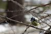 Pitigoiul albastru ( Parus caeruleus )