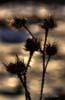 Ciulinul (Carduus nutans)