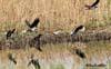 Cioara (Griva corvus corone cornix)