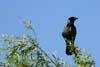 Cioara griva (Corvus corone cornix)