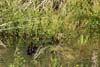 Rata mare (Anas platyrhynchos)
