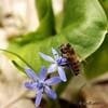 Albina melifera europeana (Apis mellifera)
