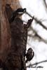 Ciocanitoarea pestrita mare ( Dendrocopos major )