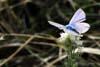 Fluturele - Polyommatus Icarus