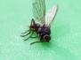 Gaze / Insecte