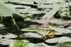 Bizamul (Ondatra zibethica)
