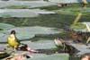 Sarpele de casa si Codobatura galbena