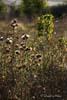 Scaiete (Carduus Acanthoides)