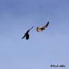 Vanturelul rosu (Falco tinnunculus)