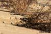 Codrosul de munte ( Phoenicurus ochruros )