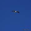 Pescarusul razator ( Larus ridibundus )