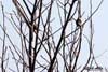 Cocosarul ( Turdus pilaris )