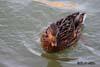 Rata mare ( Anas platyrhynchos )