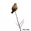 Vanturelul rosu ( Falco tinnunculus )