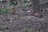 Macaleandru ( Erithacus rubecula )