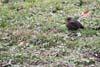 Mierla ( Turdus merula )