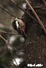 Ciocanitoarea pestrita mare