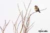 Sticletele ( Carduelis carduelis )