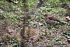 Sturzul cantator (Turdus philomelos)