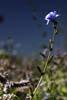 Cicoare (Cichorium Intybus)