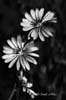 Cicoarea (Cichorium intybus)