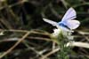 Fluturele Polyommatus Icarus