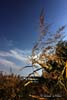 Stuf, trestie (Phragmites australis)
