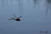 Libelula dragonfly (Anisoptera)