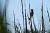 Lacarul mare (Acrocephalus arundinaceus)