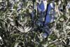Fluturele Coada randunicii (Iphiclides podalirius)