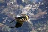 Sarpele de casa (Natrix Natrix)